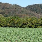キャベツ畑とミカンの木