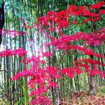15:03 青竹と紅葉