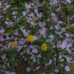 さくらの花びらとタンポポが綺麗だ