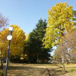 菅刈公園のイチョウ