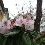 もうシャクナゲが咲いています