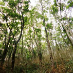 13:11 クスノキの純林