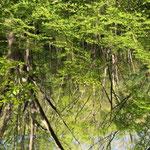 案内川の新緑