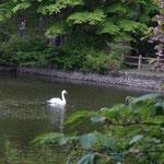 白鳥が一羽