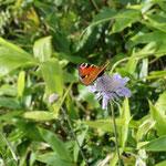 今回の花の主役、マツムシソウに蝶が、