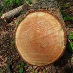 伐採したばかりのカラマツの木