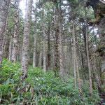シラビソの林は結構な急登