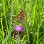 タムラソウに蝶が