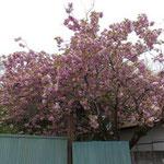 10:29 八重桜は満開