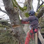 Baum muss weichen in einer alten Burg