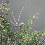 Dorngrasmücke im Rheintal