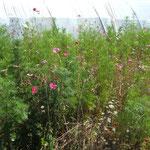 Des bandes fleuries sont  semées pour attirer les auxiliaires.