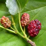 Maulbeerbaumfrüchte