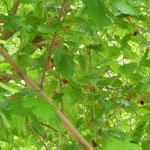 Maulbeerbaum mit Früchten