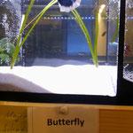 Hochzucht Betta, Farbschlag Butterfly