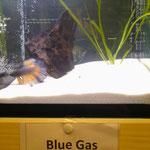 Hochzucht Betta, Farbschlag Blue Gas