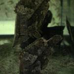 Monocirrhus polyacanthus, Blattfisch