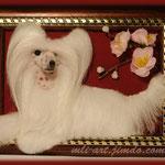 Китайская хохлатая собака(пуховка)\Chinese crested dog(рowderpuff)
