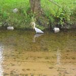 Ein Fischreiher auf der Jagd, Marion Schäuble-Bohnert