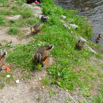 Beim Entenfüttern in Schiltach, Marion Schäuble-Bohnert