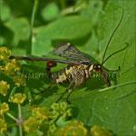 Panorpa communis (Gemeine Skorpionsfliege)_865 x 864 px