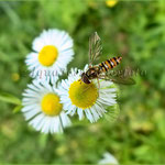 Episyrphus balteatus (Hainschwebfliege, Winterschwebfliege)_2370 x 2046 px
