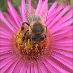 Apis mellifera (Honigbiene Züchtung)_ Bildausschnitt