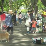 「さくら書店」の店長柴犬のさくらちゃん。お散歩中。