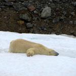 Ours polaire rassasié