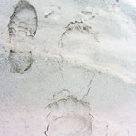 Traces d'ours