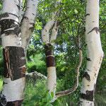 Bouleau blanc (Betula pendula)