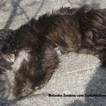 Dark Solid, Farbvariante Silber - hier als Junghund noch deutlich Sepiaschwarz (Foto: Tanja Metzger)