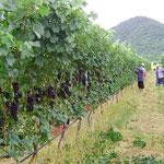 Shiraz Vines, Hua Hin Hills, Thailand