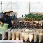 Propagation of Herbacous Cuttings at Vine Nursery, Vinh Hao, Vietnam