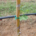Field Grafting of Vines: Common Practise in Tropical Vineyards