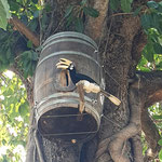 Great Hornbill Nesting in Old Barrique Barrels at Hua Hin Hills, Thailand