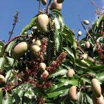 Growing Mangos at Sakharani Vineyard, Tanzania