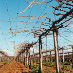 Long Cane Pruning & DORMEX Application on Table Grapes, Petrolina, Brazil