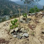 Single Vine Rock Mulching - Reduces Evaporation and Weeds While Increasing Soil Temperatures, Kewalpur, Nepal