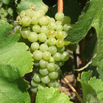 Chenin Blanc Grapes at Sakharani Vineyards, Tanzania