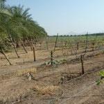 Vineyard in the Desert at Luxor, Egypt