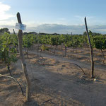 Makutupora Red - A Well-Performing Variety with Enigmatic Origin at Makutupora Trial Vineyards, Tanzania