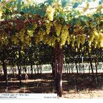 Yield of Italia Grapes in Petrolina, North-Eastern Brazil