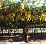 Yield of Italia Grapes in Petrolina, North-Eastern Brazil