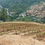 Rows With The Slope Are The Exception at Kewalpur Vineyards, Nepal