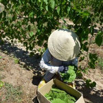 Packaging of Fresh Grape Leaves for Transport