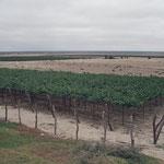 Table Grape Production, Piura, Northern Peru