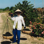 Table Grape Harvest, Ninh Thuan Province,Vietnam