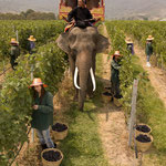 Promotion Elephant During Grape Harvest at Hua Hin Hills Vineyard, Thailand