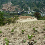 One of The World's Steepest Vineyards (640m altitue difference) at Kewalpur, Nepal